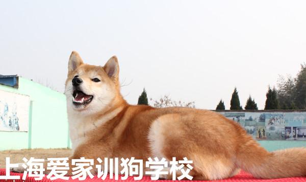 读书学习-上海训狗学校收费标准,就找爱家宠物学校!中